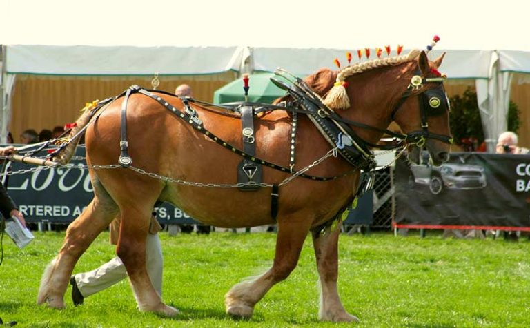 Largest Horse Breed