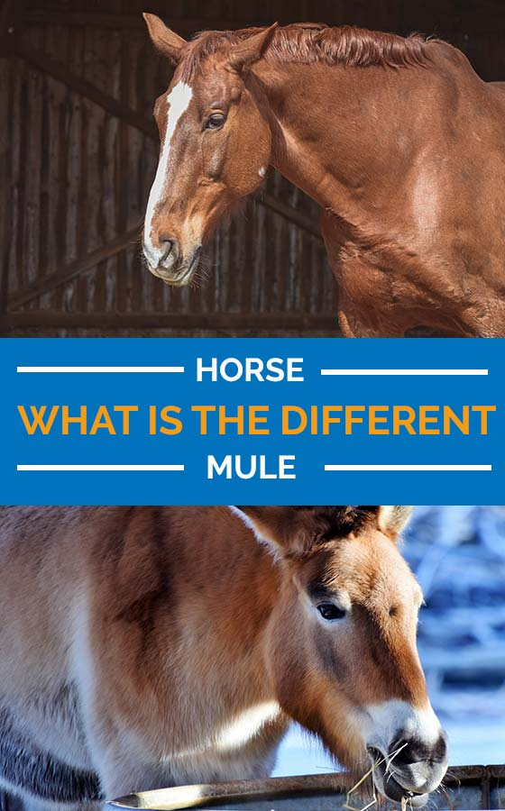 Difference Between Horse and Mule