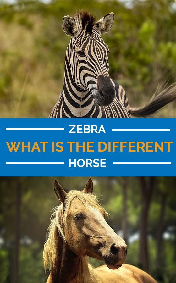 Difference Between Horse and Zebra