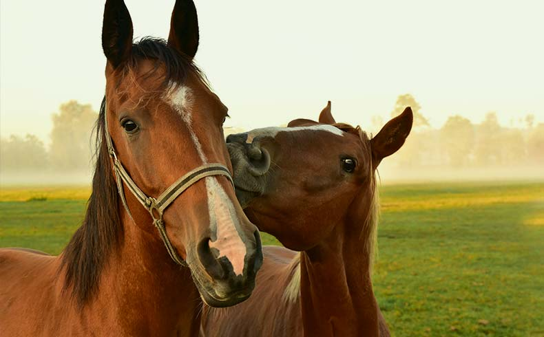 How Many Horse Breeds Are There